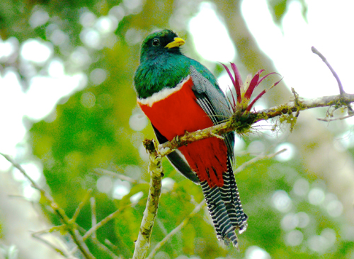 Collared Trogon. Photo by Rick Taylor. Copyright <strong><strong>Borderland Tours</strong></strong>. All rights reserved.