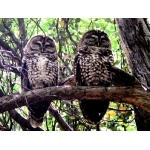 Spotted Owls. Photo by Rick Taylor. Copyright Borderland Tours. All rights reserved.