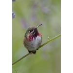 Calliope Hummingbird. Photo by Bob Wenrick. All rights reserved.
