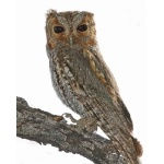 Flammulated Owl. Pete Grube. All rights reserved.