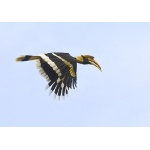 Great Hornbill in flight. Photo by Dave Semler. All rights reserved.