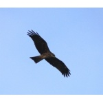 Black Kite following the boat. Photo by Rick Taylor. Copyright Borderland Tours. All rights reserved.