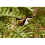 Eastern Spinebill. Photo by Dave Semler. All rights reserved.