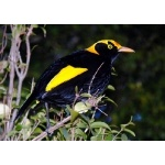 Regent Bowerbird. Photo by Rick Taylor. Copyright Borderland Tours. All rights reserved.