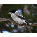 Gray Butcherbird. Photo by Rick Taylor. Copyright Borderland Tours. All rights reserved.