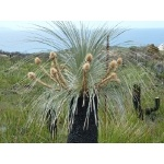 Grass Tree. Photo by Mike West. All rights reserved.