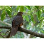 Brown Cuckoo-Dove. Photo by Larry Sassaman. All rights reserved