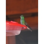 Berylline Hummingbird at the veranda feeders. Photo by Rick Taylor. Copyright Borderland Tours. All rights reserved.