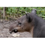 Baird's Tapir. Photo by Joyce Meyer and Mike West. All rights reserved.