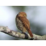 Ferruginous Pygmy-Owl, rufous morph.  Photo by Joe and Marcia Pugh. All rights reserved.