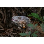 Green Iguana. Photo by Joyce Meyer and Mike West. All rights reserved.