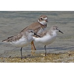 Western and Semipalmated Sandpipers, and Semipalmated Plover. Photo by Joyce Meyer and Mike West. All rights reserved.