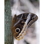 Gold-edged Giant-Owl Butterfly. Photo by Joyce Meyer and Mike West. All rights reserved.