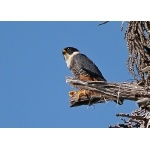 Bat Falcon. Photo by Joyce Meyer and Mike West.  All rights reserved.