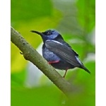 Red-legged Honeycreeper. Photo by Joyce Meyer and Mike West.  All rights reserved.