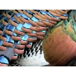 Plumage detail of Ocellated Turkey. Photo by Chris Sharpe. All rights reserved.