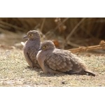 Bare-faced Ground-Dove. Photo by Luis Segura. All rights reserved.