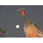 Dusky-legged Guan and the Moon. Photo by Rick Taylor. Copyright Borderland Tours. All rights reserved.