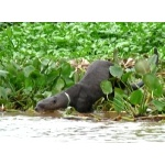 Giant Otter. Photo by Larry Sassaman. All rights reserved.