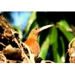 Great Rufous Woodcreeper. Photo by Luis Segura. All rights reserved.