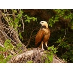 Black-collared Hawk Photo by Rick Taylor. Copyright Borderland Tours. All rights reserved.