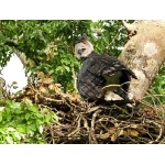 Harpy Eagle at nest. Photo courtesy of Pousada Currupira das Araras. All rights reserved.