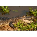 Pantanal Caiman. Photo by Rick Taylor. Copyright Borderland Tours. All rights reserved.