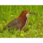 Rufescent Tiger-Heron. Photo by Rick Taylor. Copyright Borderland Tours. All rights reserved.