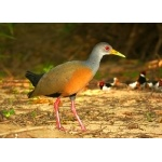 Gray-necked Wood-Rail. Photo by Rick Taylor. Copyright Borderland Tours. All rights reserved.