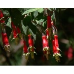 Fuschia on Cerro Huitepec. Photo by Rick Taylor. Copyright Borderland Tours. All rights reserved.
