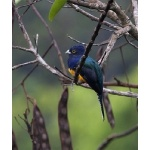 Violaceous Trogon. Photo by Dave Semler. All rights reserved.
