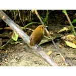 Brown-banded Antpitta. Photo by Luis Uruena. All rights reserved.