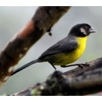 Santa Marta Brush-Finch. Photo by Luis Uruena. All rights reserved.