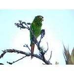 Santa Marta Parakeet. Photo by Luis Uruena. All rights reserved.