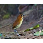 Yellow-breasted Antpitta. Photo by Dave Semler and Marsha Steffen. All rights reserved.