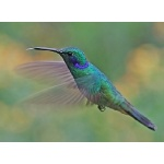 Sparkling Violetear. Photo by Paul Cozza. All rights reserved.