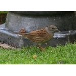 Dunnock. Photo by Richard Fray. All rights reserved.