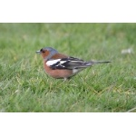 Chaffinch. Photo by Rob Fray. All rights reserved.
