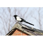 Eurasian Magpie. Photo by Rob Fray. All rights reserved.