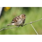 Twite. Photo by Rob Fray. All rights reserved.