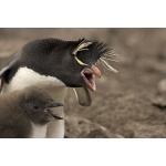 Rockhopper Penguins. Photo by Enrique Couve. All rights reserved.
