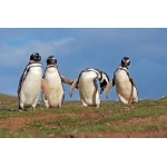 Magellanic Penguins. Photo by Enrique Couve. All rights reserved.