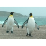 King Penguins returning from the sea. Photo by Rick Taylor. Copyright Borderland Tours. All rights reserved.