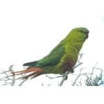 Austral Parakeet. Photo by Rick Taylor. Copyright Borderland Tours. All rights reserved.