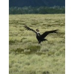 Andean Condor alighting. Photo by Rick Taylor. Copyright Borderland Tours. All rights reserved.
