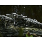 Baby American Alligators. Photo by Rick Taylor. Copyright Borderland Tours. All rights reserved.