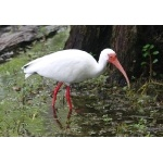 White Ibis. Photo by Jean Halford. All rights reserved.