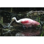 Roseate Spoonbill. Photo by Jean Halford. All rights reserved.
