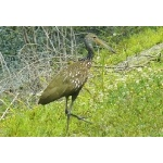 Limpkin. Photo by Rick Taylor. Copyright Borderland Tours. All rights reserved.
