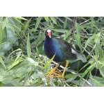 Purple Gallinule. Photo by Jean Halford. All rights reserved.